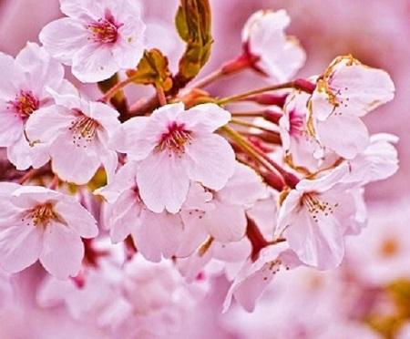 Gambar Wallpaper Bunga Sakura Jepang Cantik 0 Camino Reiki